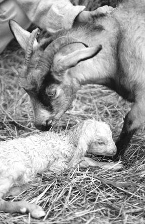 Newborn cashmere goat & mother