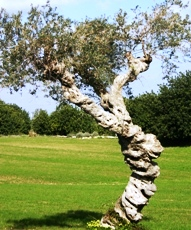 olive tree w twisted trunk