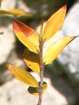 Myrtle leaves, yellowing