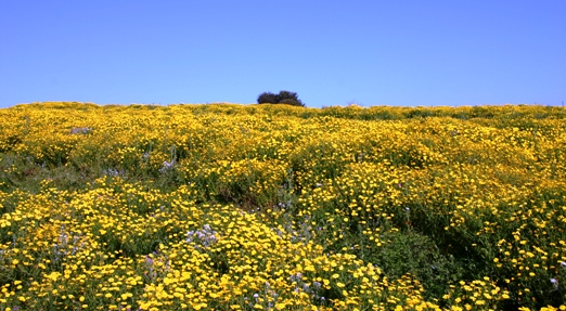 Wildflower field of yellow daisies Sicily Italy