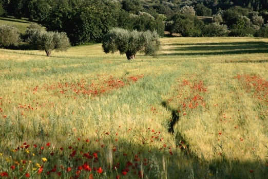 Wheat fields & poppies in Sicily