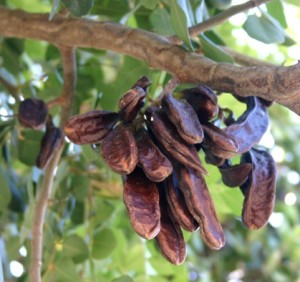 Carob pods on tree