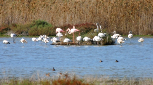 flamingoes in Sicily