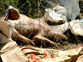 litter problem in Sicily