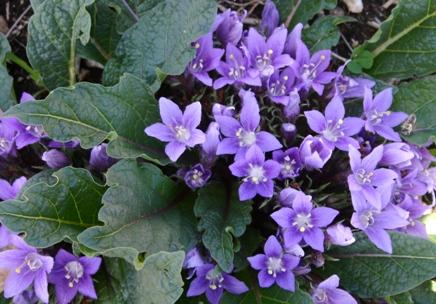 mandrake - mandragora autumnalis