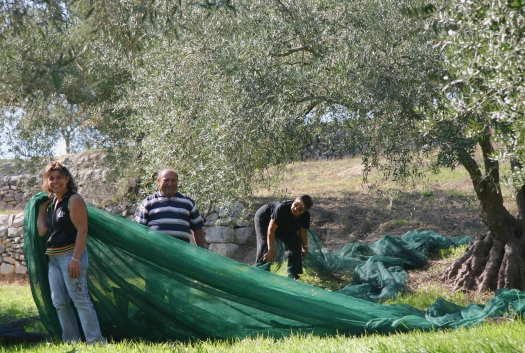Olive picking in Sicily