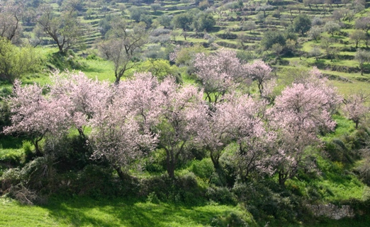 almond blossoms Italy