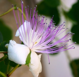 Flower of caper