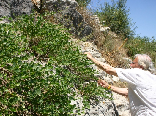 Picking capers in Sicily