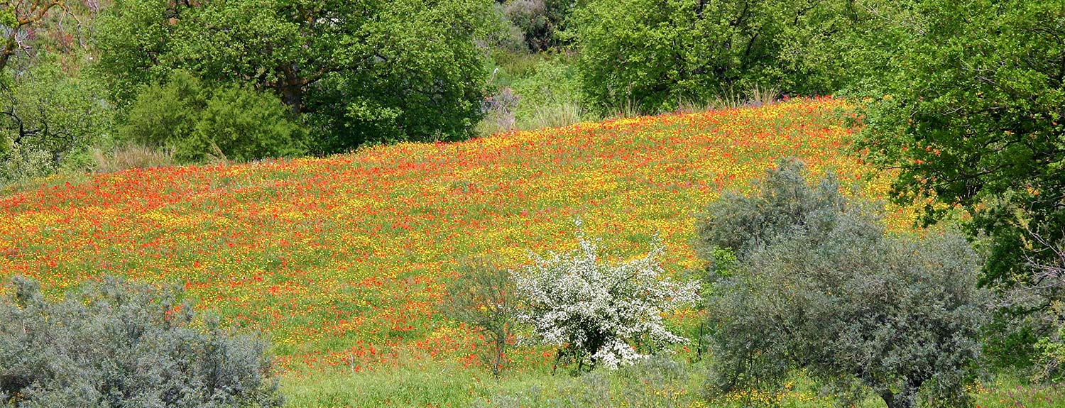 Sicily countryside with yellow & orange wildflowers