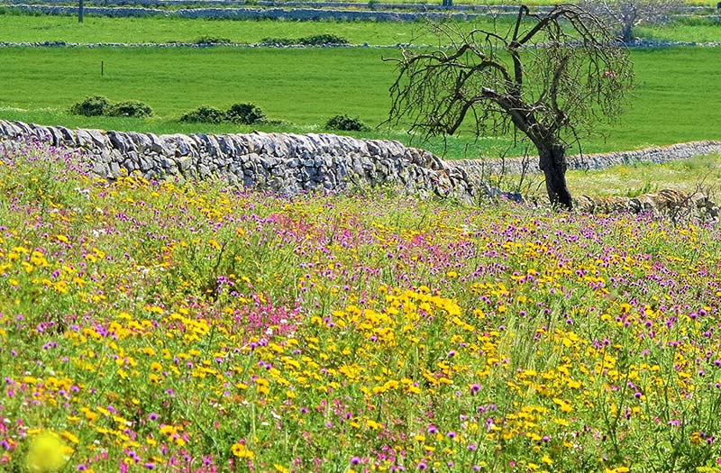 Sicily countryside with pink & yellow flowers