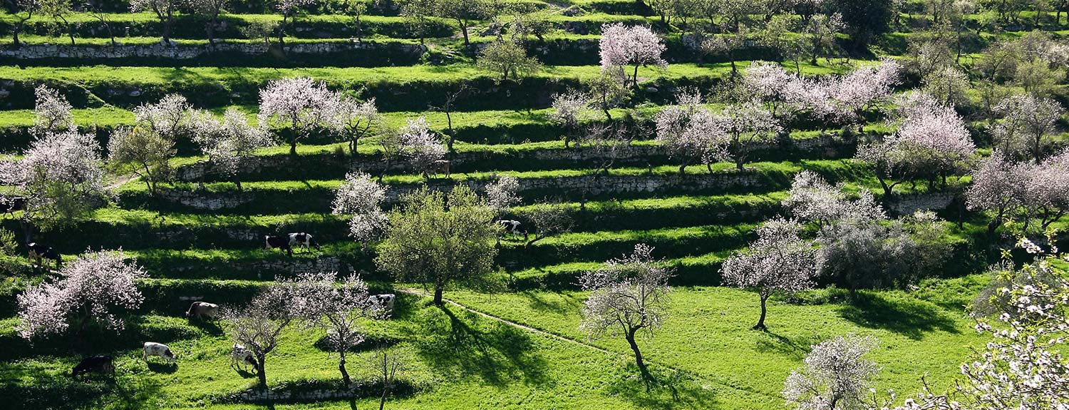 green landscape with almond trees