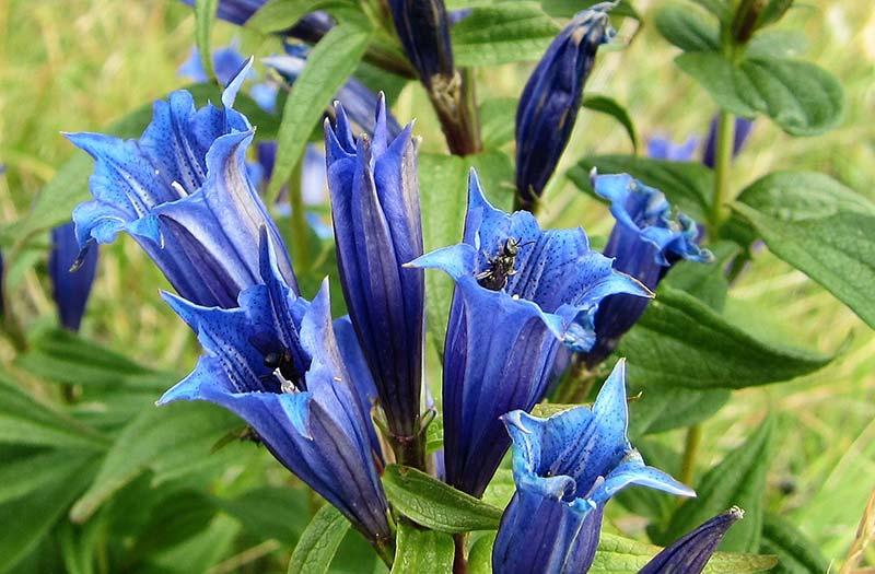 blue gentian flowers with a bee
